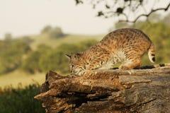 Chat sauvage sur le logarithme naturel Photos stock
