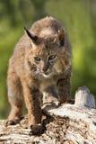 Chat sauvage sur un rondin Image stock