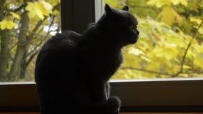 Chat se reposant sur le rebord de fenêtre et les regards la fenêtre 2 banque de vidéos