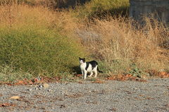 Chat semi-sauvage noir et blanc de Rhodes photographie stock libre de droits