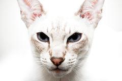 Chat siamois Image stock