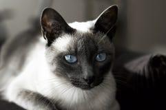 Chat siamois avec des œil bleu Images stock