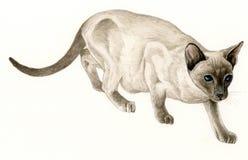 Chat siamois (catus de Felis) Photographie stock libre de droits
