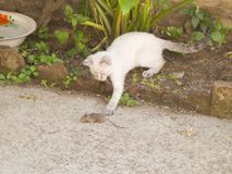 Chat siamois chassant la souris un peu grise à une ferme Photographie stock libre de droits