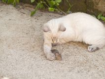 Chat siamois chassant la souris un peu grise à une ferme Image stock