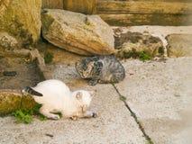 Chat siamois chassant une petite souris grise à une ferme Photo libre de droits