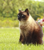Chat siamois dans l'herbe Photos stock