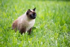 Chat siamois dans l'herbe avec des yeux bleus photographie stock libre de droits