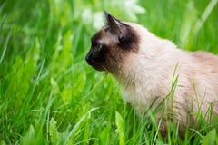 Chat siamois dans l'herbe avec des yeux bleus image stock