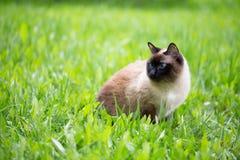 Chat siamois dans l'herbe avec des yeux bleus photo libre de droits