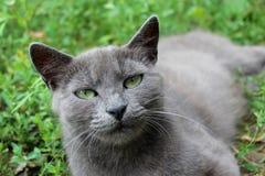 Chat siamois dans l'herbe verte Image stock