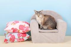 Chat siamois dans la chaise Photographie stock