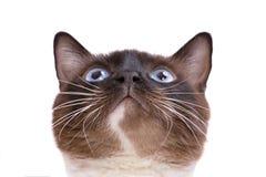 Chat siamois de raquette de brun de portrait de plan rapproch? situant et recherchant D'isolement sur le blanc photographie stock libre de droits