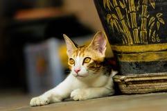 Chat siamois en Thaïlande Photographie stock libre de droits