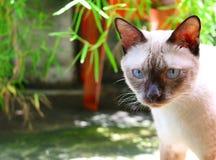 Chat siamois mignon extérieur à l'arrière-cour Photo libre de droits
