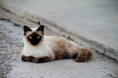 Chat siamois observé par bleu photographie stock