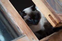 Chat siamois se reposant dans une fenêtre en bois image libre de droits