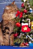 Chat sibérien Photos stock