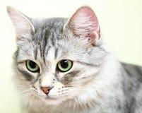 Chat sibérien, argent femelle de version Image stock