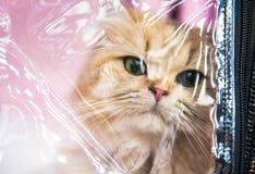 Chat sibérien dans la cage d'exposition Image stock