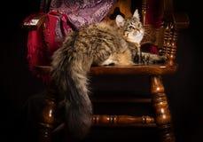 Chat sibérien de race se trouvant sur une chaise Photographie stock