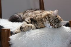 Chat sibérien dormant sur une chaise Images stock