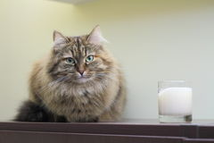 Chat sibérien, femelle Image stock