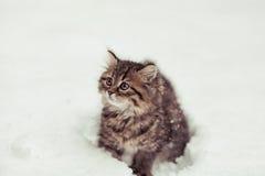Chat sibérien pelucheux dans la neige d'isolement sur un fond blanc Photo stock