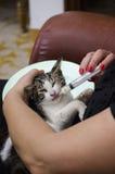 chat soigné par une femme image libre de droits