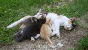 Chat soignant ses petits chatons banque de vidéos