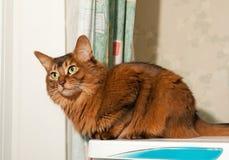 Chat somalien à la maison Photographie stock