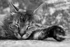 Chat somnolent Photographie stock libre de droits