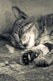 Chat somnolent Photographie stock libre de droits