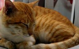 Chat somnolent Photos stock