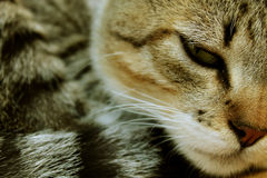 Chat somnolent se reposant, beau chaton Photos stock