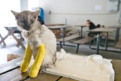 Chat supérieur avec deux jambes cassées Photographie stock
