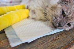 Chat supérieur avec deux jambes cassées Photo libre de droits