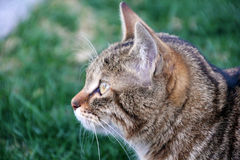 chat sur l'observation d'herbe Image stock