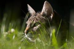 Chat sur la chasse photo stock
