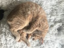 Chat sur la fourrure Image libre de droits