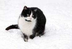 Chat sur la neige blanche Photo stock