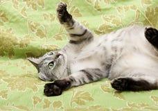 Chat sur le fond vert, chat à la maison, chat drôle, animal domestique, chat sérieux gris à l'arrière-plan trouble, portrait de c Photo stock