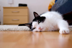 Chat sur le plancher Photographie stock