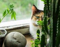 Chat sur le rebord de fenêtre, la plante de chanvre et le cactus Image libre de droits