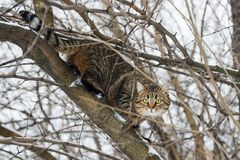 Chat sur un arbre Chat sur l'arbre de neige Cat Climbing Tree photos stock