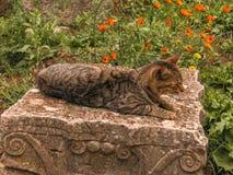 Chat sur une pierre capitale dans Volubilis photographie stock libre de droits