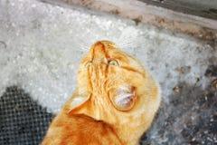 chat ? t?te rouge Chat sur la rue images stock