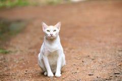 Chat thaï Photographie stock libre de droits