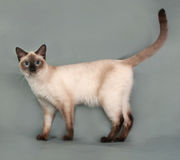 Chat thaïlandais avec des yeux bleus se tenant sur le gris image stock