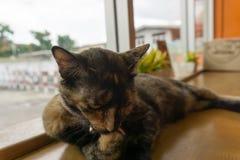 Chat thaïlandais avec les yeux effrayants Photographie stock